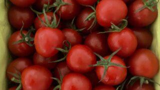 小笠原諸島 母島のミニトマト