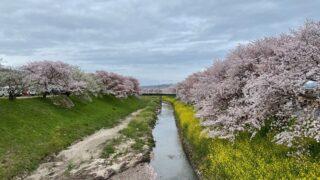 佐保川 桜並木
